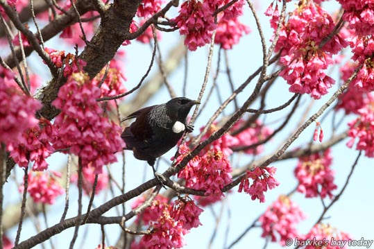 A tui on one of two flowering Prunus Campanulata trees on the property of Tony Speering, Avondale Rd, Greenmeadows, Napier. photograph