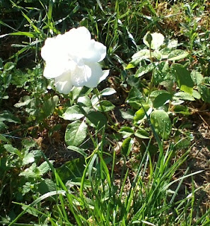 The second rose in our garden