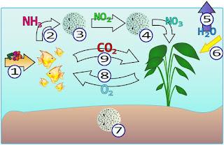 Pourquoi ajouter du CO2 ? Le+cycle+azote+en+aquarium