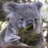 un koala comiendo de un eucalipto