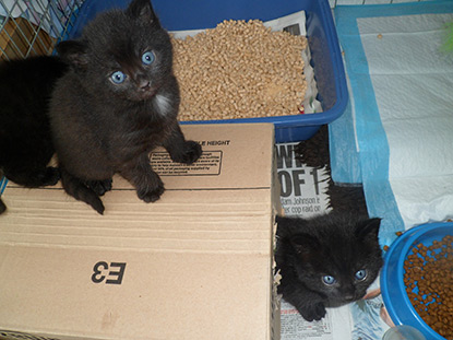 Black kittens playing with a cardboard box