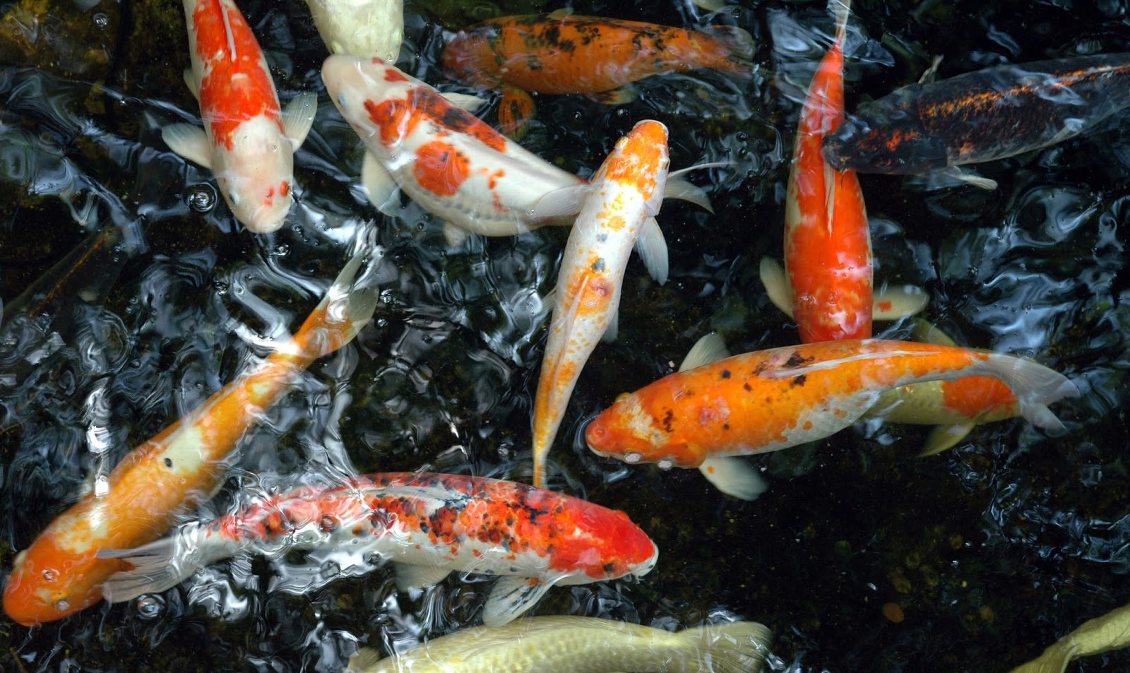 No mar profundo carpas for Small koi carp