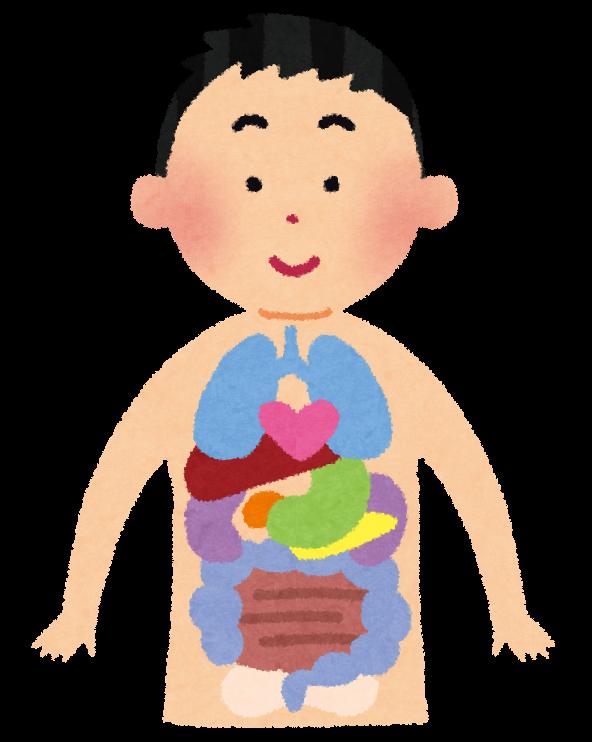 臓器の場所はどこ?人体の内臓の位置を図を用いて …