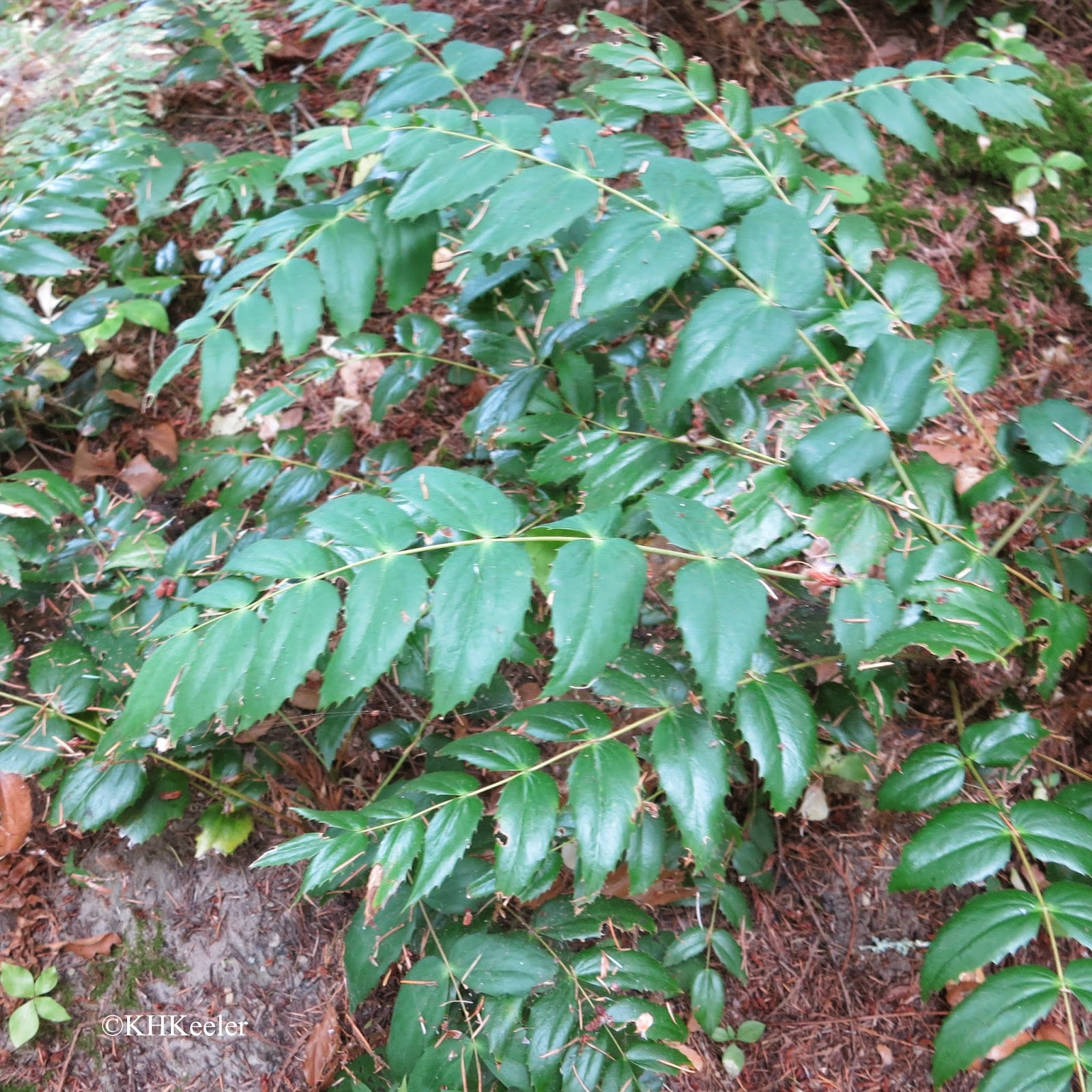 Oregon grape, Berberis repens