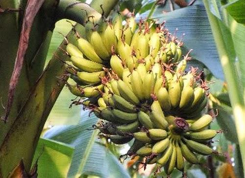 สวนยาง กับ กล้วยไข่ ก็รวยกันได้