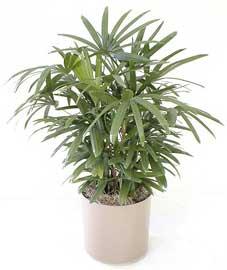 Una casa sana plantas purificadoras 7 palmera china rhapis excelsa - Bambu planta exterior ...