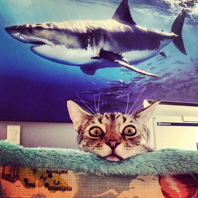 Funny cat pictures part 14, cat and shark