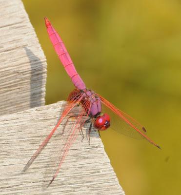 Crimson Dropwing (Trithemis aurora)