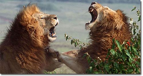 Leões - Rugido revelador