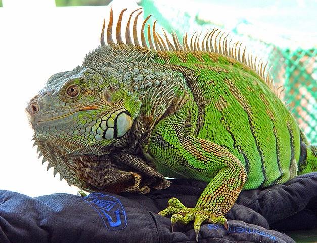 Iguana animal con i