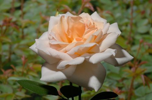 Grand Mogul rose сорт розы фото