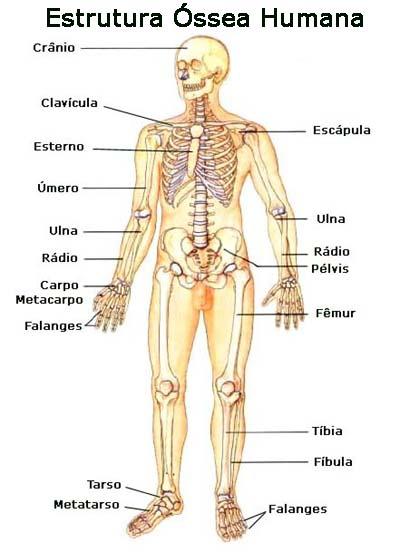 ESQUELETO HUMANO R.F.: Estructura del Sistema Oseo o Esqueleto Humano