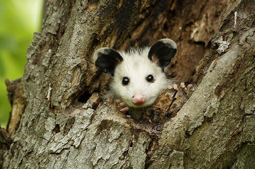Smiling Possum As cute: the possum.