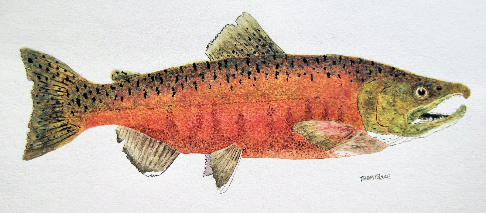 Daily painters of pennsylvania watercolor study of a for Chinook salmon fishing