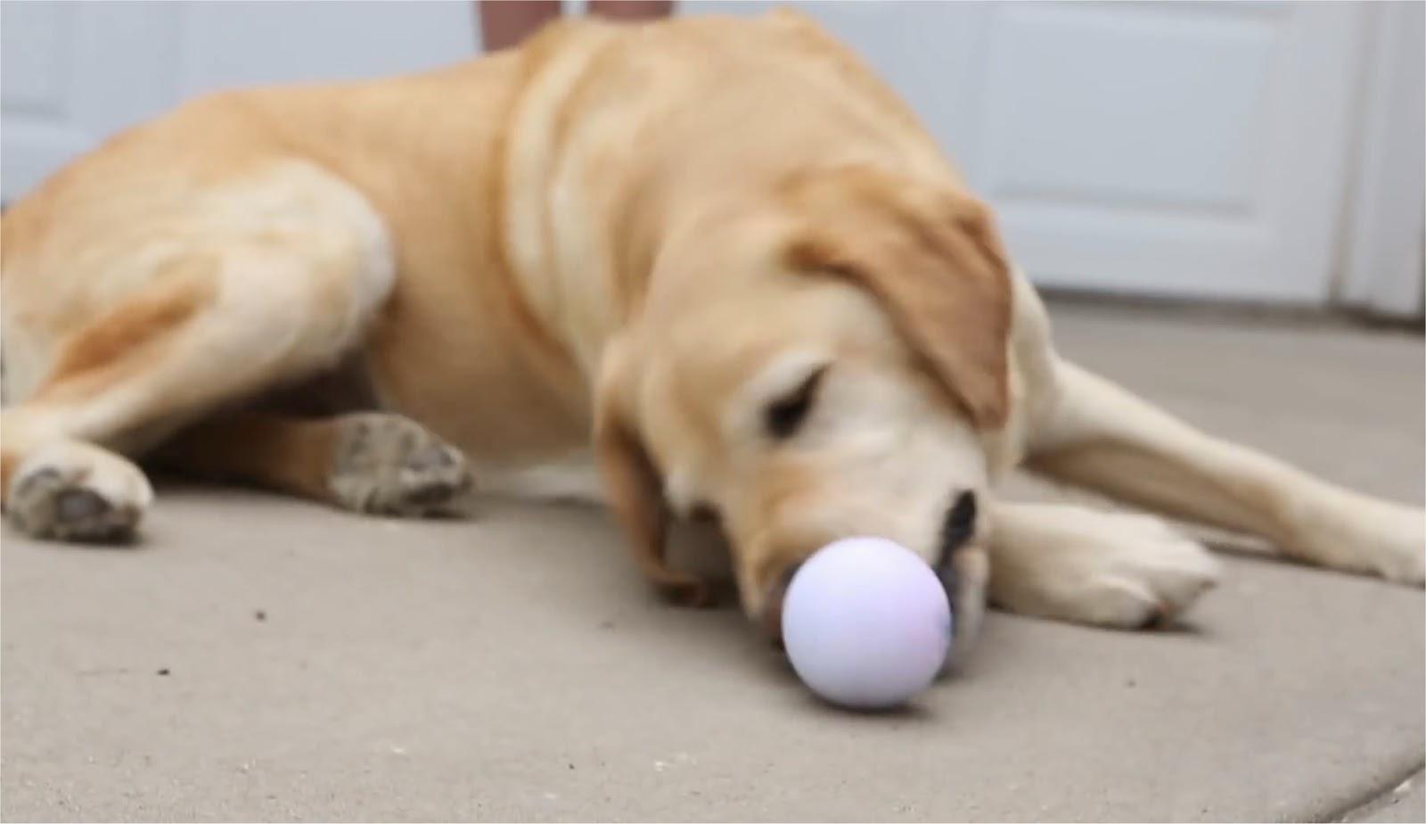 Sphero Dog