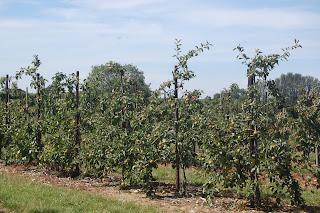 Apple trees at Brogdale