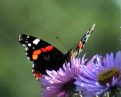 Red Admiral butterfly on aster flower