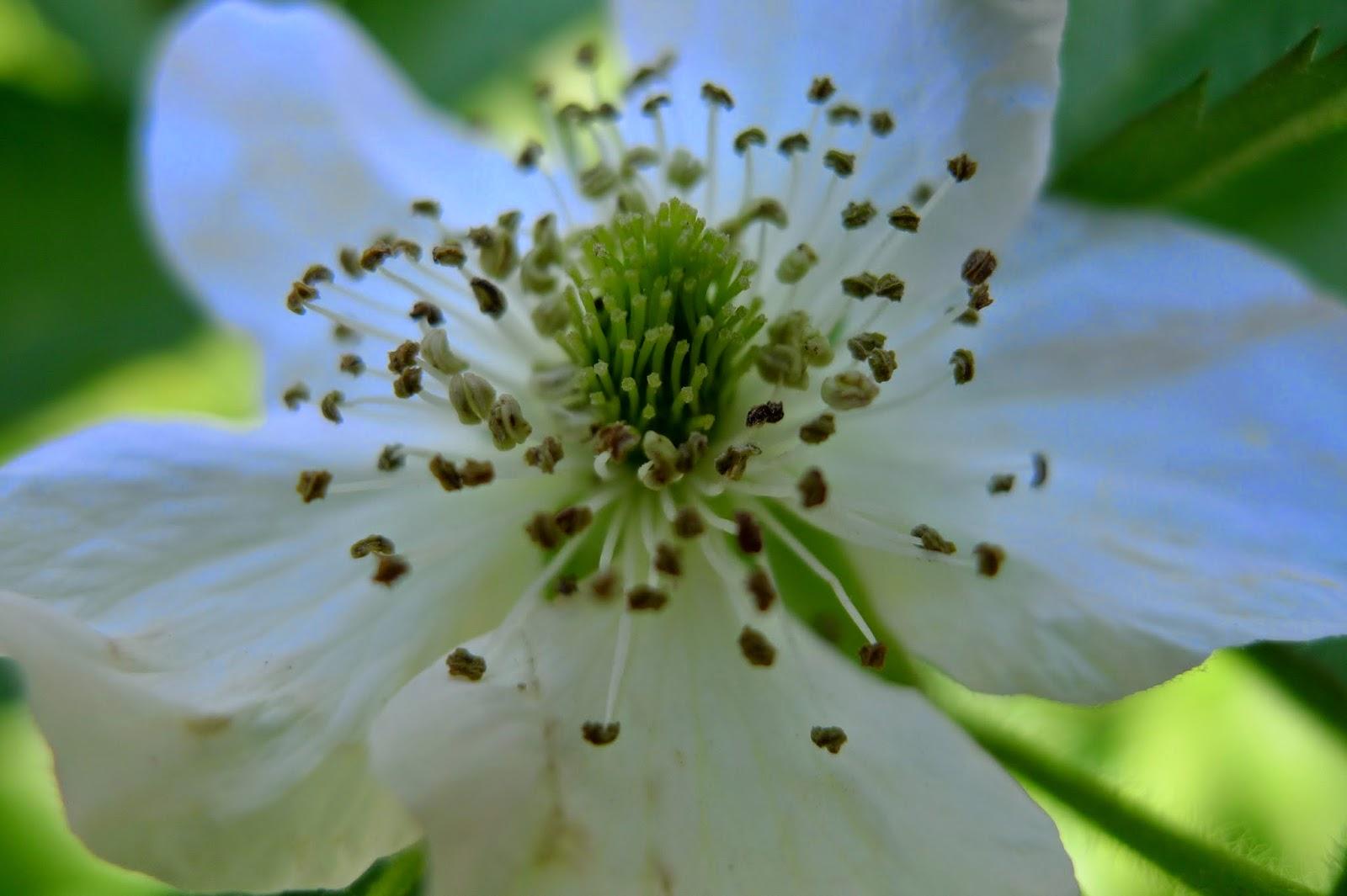 blackberry flower, urban farming