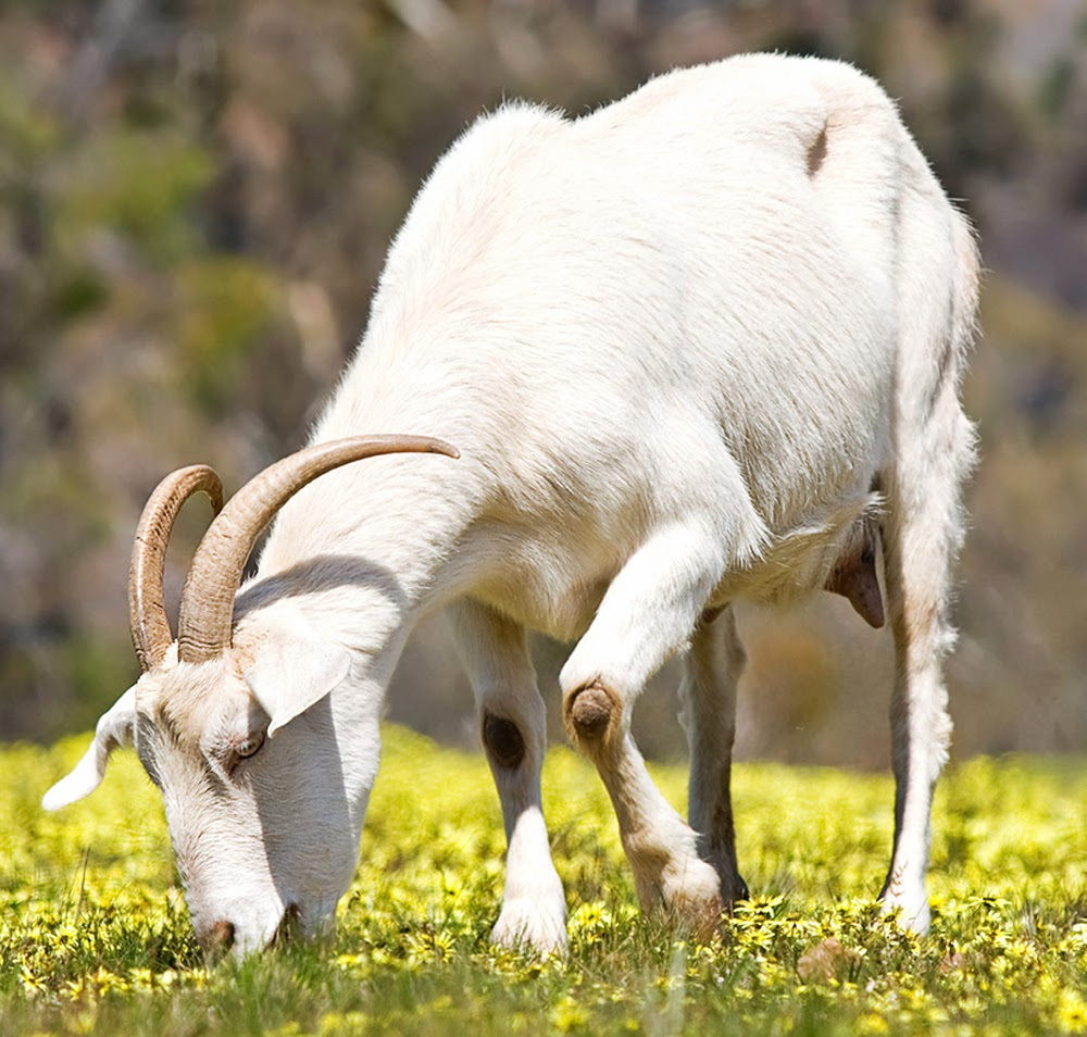 wild goats, wild goat characteristics, characteristics of wild goats