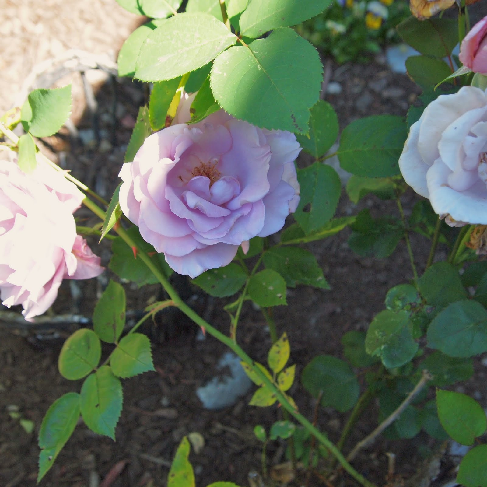 The alchemist july 2011 - What are blue roses called ...