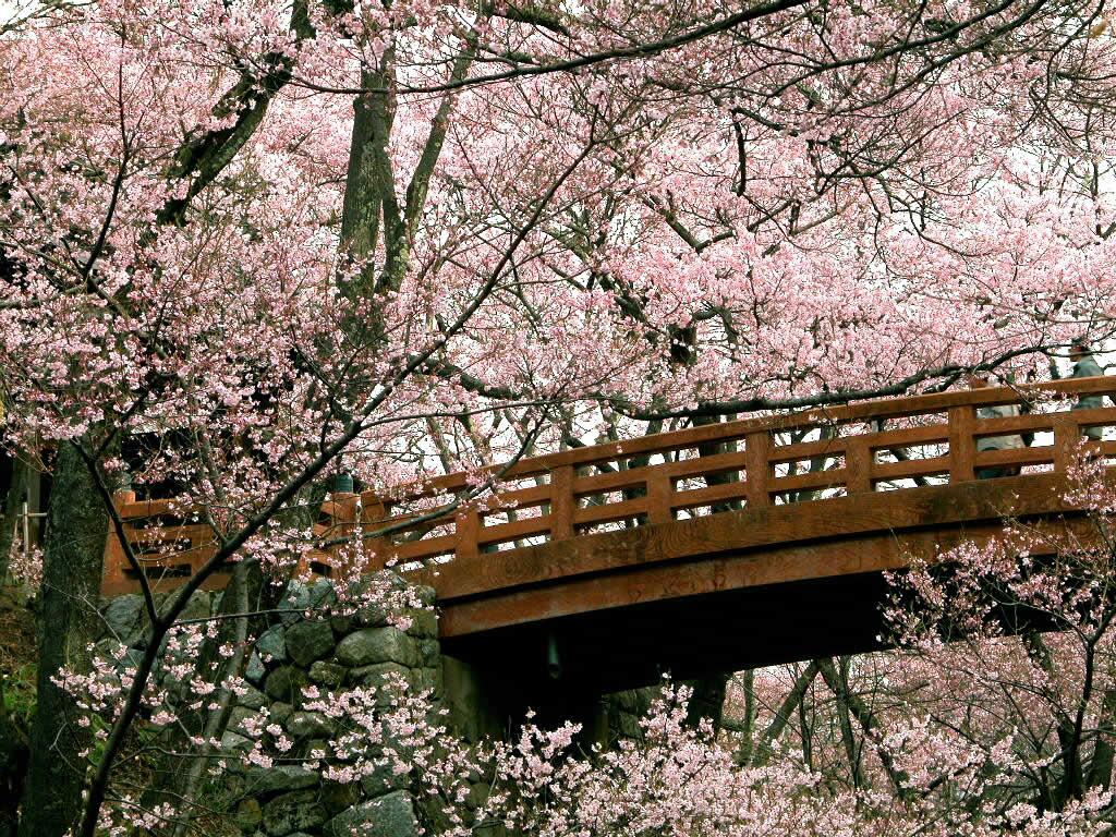 http://4.bp.blogspot.com/-i7hVp1cuQoM/TdA8pxpWY_I/AAAAAAAAAAM/xwKdliWtMHk/s1600/cherry-blossom-flowers-5392.jpg