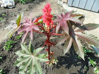 24 июня, первый цветок клещевины