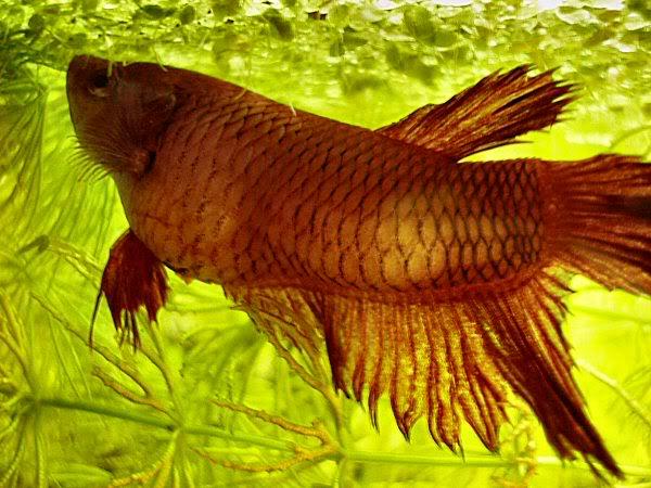 Betta disease tuberculosis tb nice betta for Betta fish fungal infection