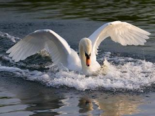 Cisne extendiendo las alas