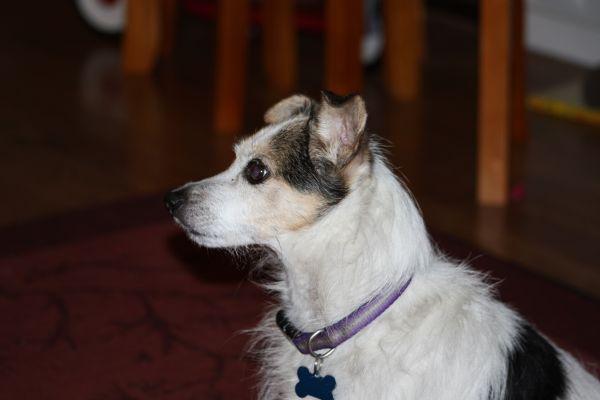 Missing Small Dog Alert: Missing...Clarksville, MD