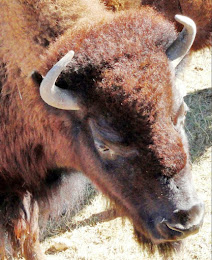 Photograph of buffalo at the Terry Bison Ranch near the Colorado/Wyoming border.