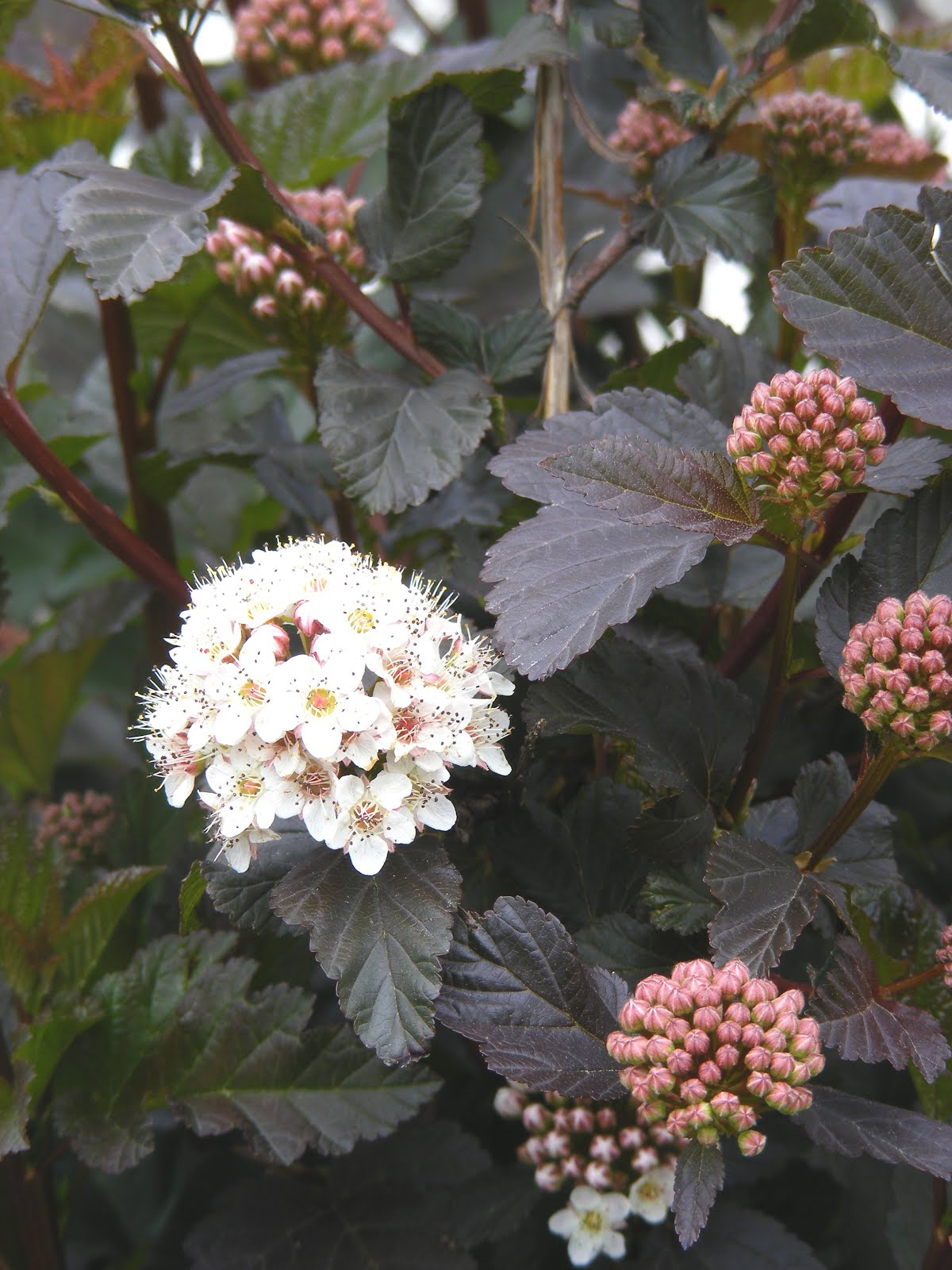 Physocarpus Shady Lady