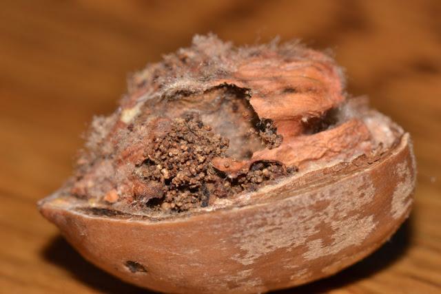 wormy acorn