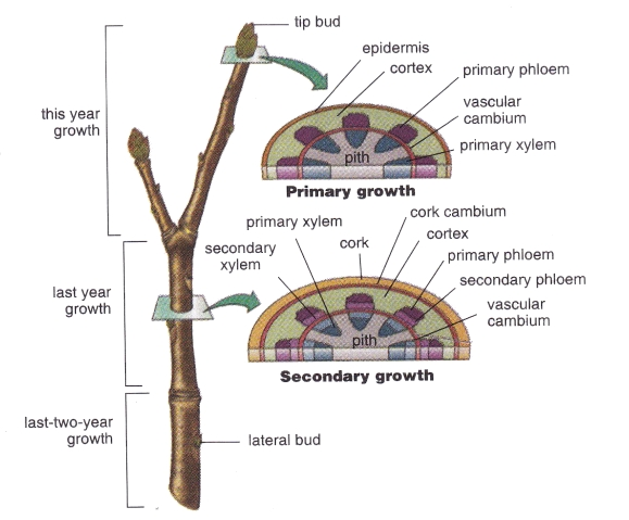 abnormal secondary growth in plants