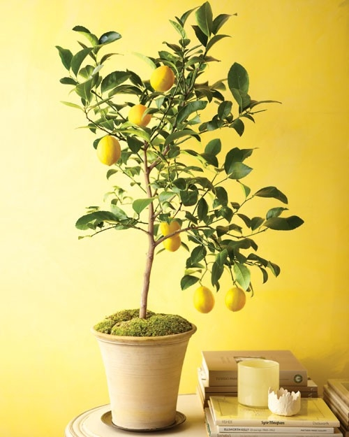 How to grow lemon trees from seeds indoors for Growing a lemon tree in a pot from seed