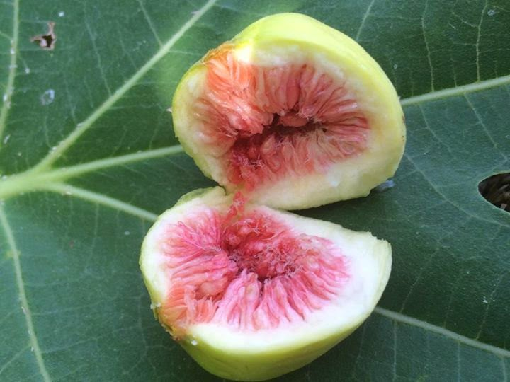 White Arab Figs