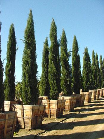 Cupressus sempervirens cipres plantas en valladolid for Jardin cipres