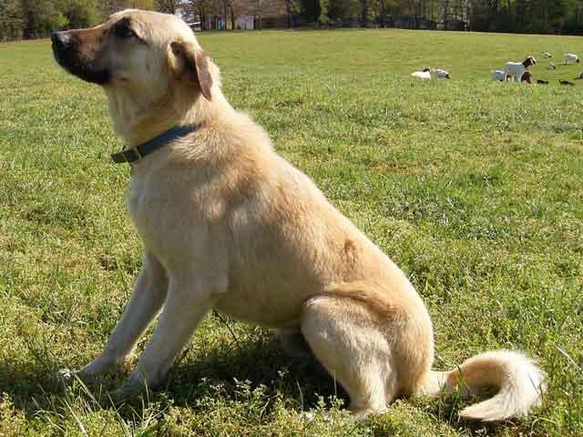 Cute Dogs: Anatolian s...