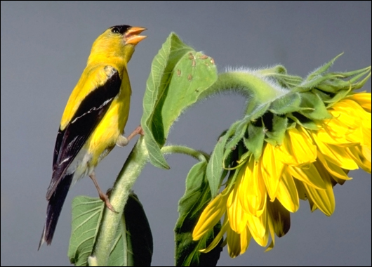 Yellow Warbler Flying Bright Yellow Birds Th...