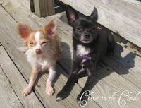 Our Chi's - Sophie and Jet