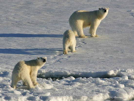 Family Polar Bears 12 Family Adventure Ideas from Adventure Travel Show