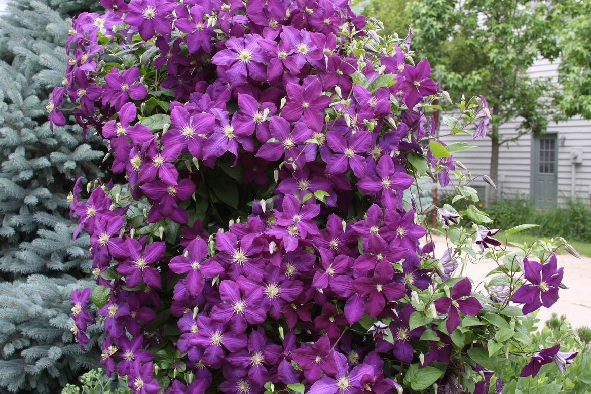 garden musings from memphis area master gardeners pruning clematis. Black Bedroom Furniture Sets. Home Design Ideas