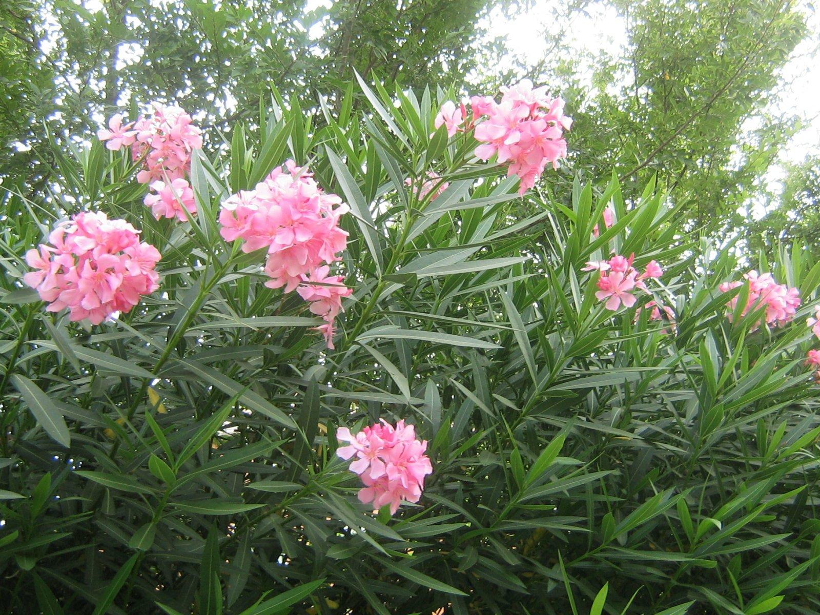 Como naipe cuya baraja se ha perdido las adelfas - Plantas ornamentales venenosas ...