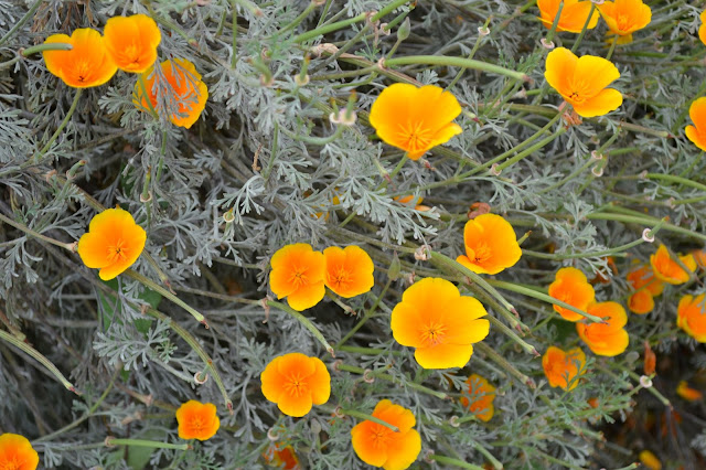poppies, seattle, flowers, orange, green, gray, nature, gardening, summer, photography