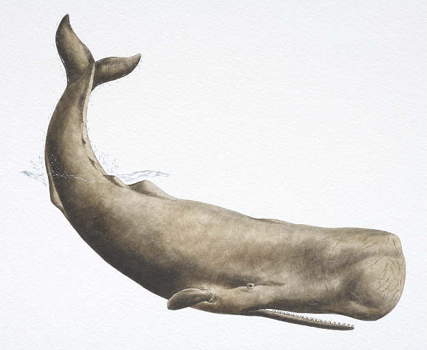 Uses of sperm whale