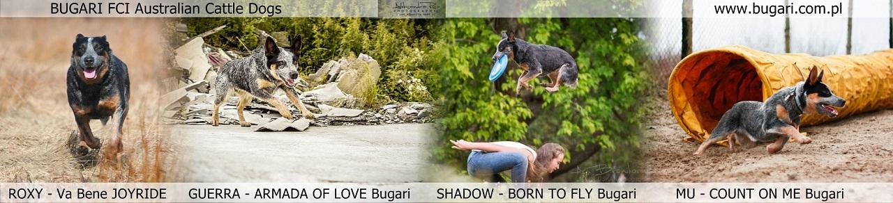 BUGARI FCI Australian Cattle Dogs - Ewa Osuch