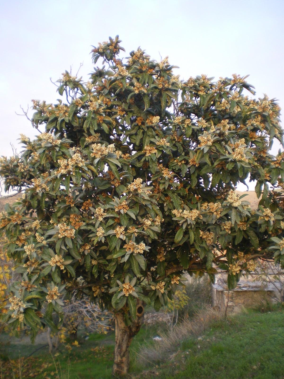 Nispero tree | Nisperos, a Spanish Favorite in Summer. The t… | Flickr