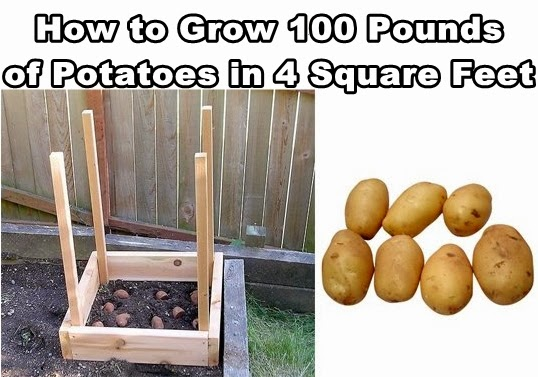 how to grow potatoes in a garden