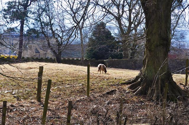Yorkshire Sheep