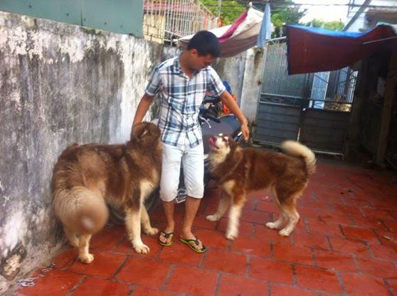 Alaska Phi Ưng luôn hòa đồng với những chú cún khác