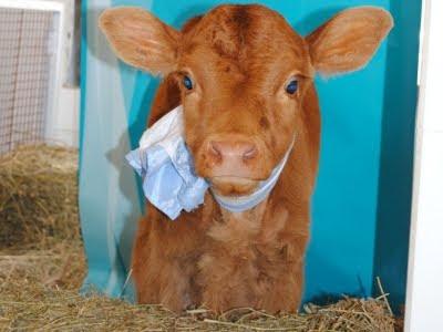 ternera que produce leche como la humana